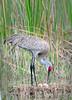 Sandhill crane 9771