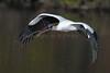 Wood Storks 3177