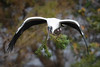 Wood Stork 441