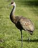 Sandhill Cranes 5266