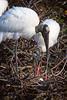 Wood Storks 1968