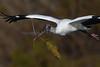 Wood Stork 3038