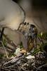 Wood storks 7303