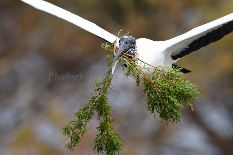 Wood Stork 457