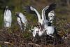Wood Storks 2872