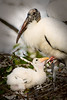Wood storks 8074