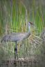 Sandhill crane 9767