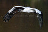 Wood Storks 3180