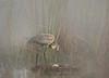 Sandhill crane foggy morn 5024