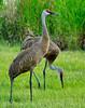 Sandhill Cranes 5342
