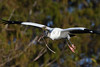 Wood Stork 2911