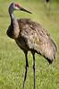 Sandhill Cranes 5291
