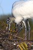 Wood Storks 490