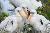 Wood Storks 4326 2