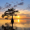 Cypress Trees : 1 gallery with 188 photos