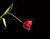 Tulip 1090 Horz