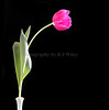 Tulip 1035