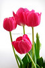 Tulips 1026