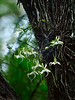 Ghost Orchid 5828  2014 c