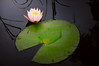 Water Lily 3532