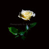 Rose 1245