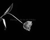 Tulip 1090 Horz bw
