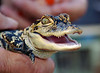 Gators Turtles Lizards Frogs Snakes : 4 galleries with 284 photos