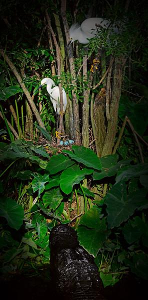 Gator and Snowy Egrets