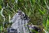 Gator babies 9297