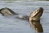 Gator 9584