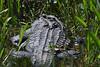 Gator babies 9442