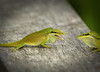 Anole green 2582