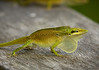 Anole green 2574