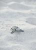 Turtle sea 1741