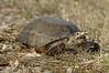 Turtle 684