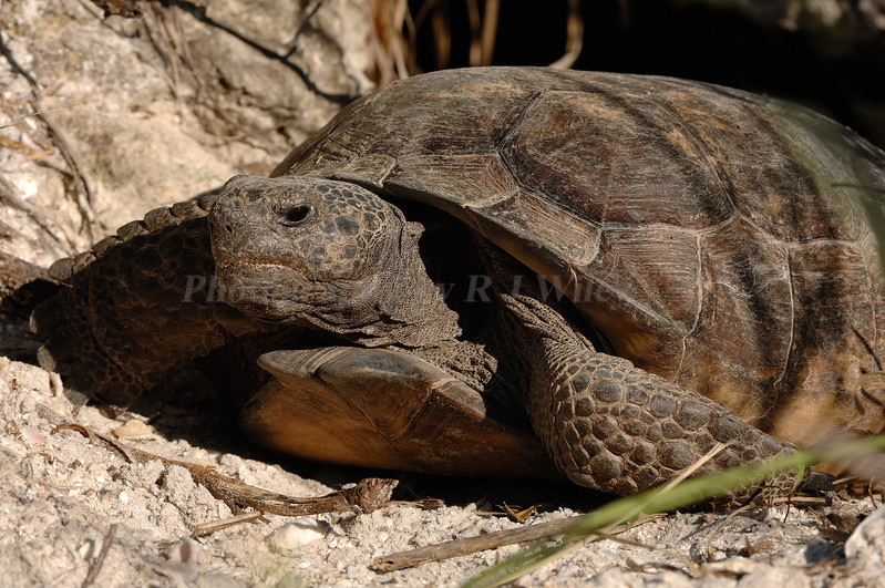 Gopher Tortoise 3566