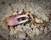 Fiddler crab 178