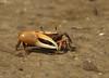 Fiddler crab 2772