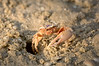 Fiddler crab 1901