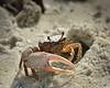 Fiddler Crab 198