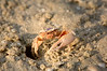 Fiddler crab1902