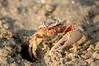 Fiddler Crab 1900