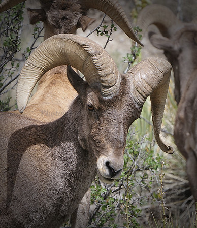 Mountain Sheep
