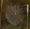 Spider web 5906
