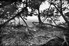 Mangrooves  8801 bw