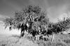 Tree 8949 bw