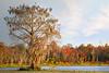 Cypress tree 1003