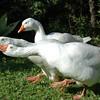 Geese, Bermuda.