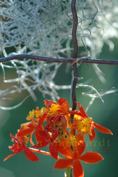 Orchid flower, Bermuda.