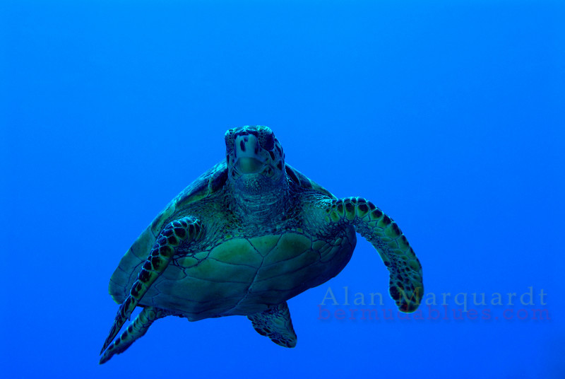Hawksbills Turtle, Cayman Brac. 2007.  26 X 16 inches.<br /> Limited to 10 prints only.   $500.00 unframed.